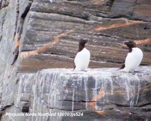 Gjesvaer : Pingouin Torda   Alca torda