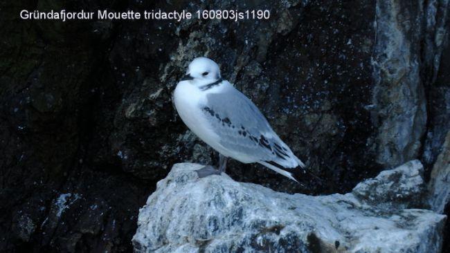 Mouettes tridactyles     Rissa tridactyla     (Islande)