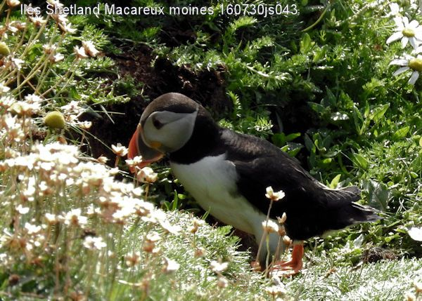 Macareux moines     Fratecula arctica     (Iles Shetland)