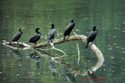 Grands cormorans     <em>Phalocrocorax carbo</em>