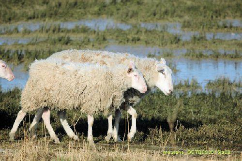 Moutons (nettoyage des zone naturelles)