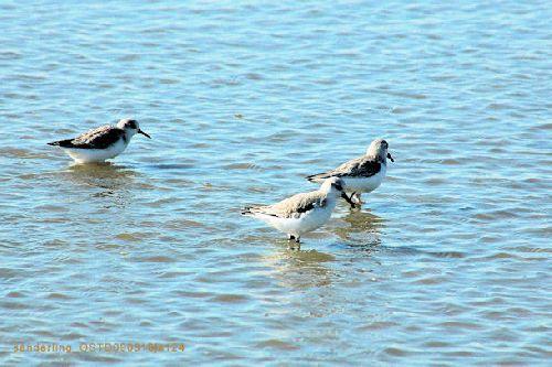 Bécasseaux sanderling     <em>Calidris alba</em>