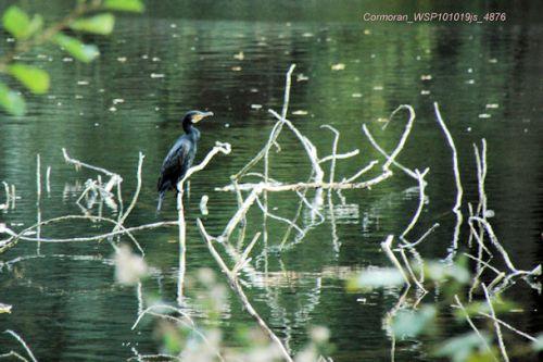 Grand cormoran      <em>Phalocrocorax carbo</em>
