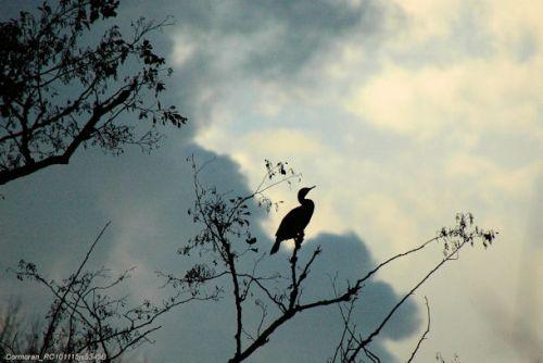 Contre-jour (Grand cormoran)