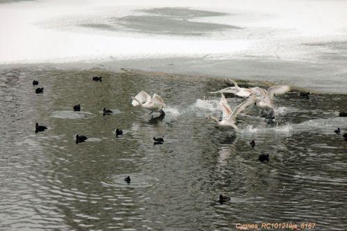 Cygnes tuberculés : apprentissage au vol