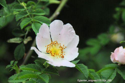 Eglantier (fleur)