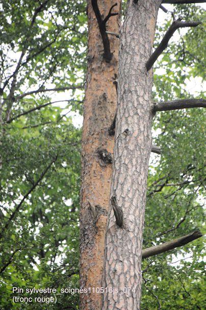 Pins sylvestres (tronc rouge)