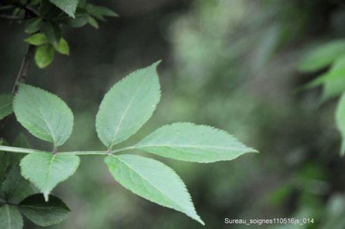 Sureau (feuilles)