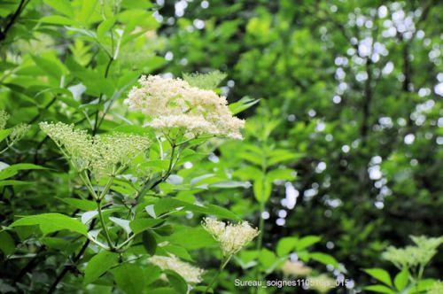 Sureau (fleurs)