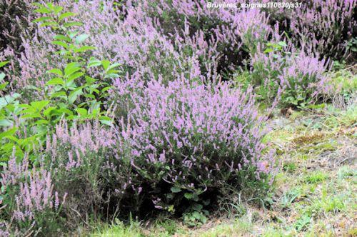 Bruyères  sp        (Ericacées)