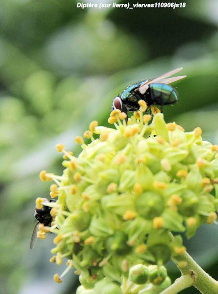 Diptères sur fleur de Lierre