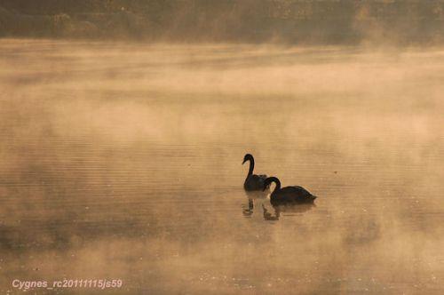 Cygnes dans la brume ...