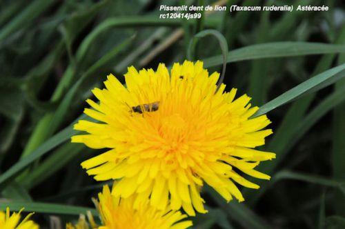 Pissenlit dents de lion     (<em>Taraxacum ruderalia</em>)