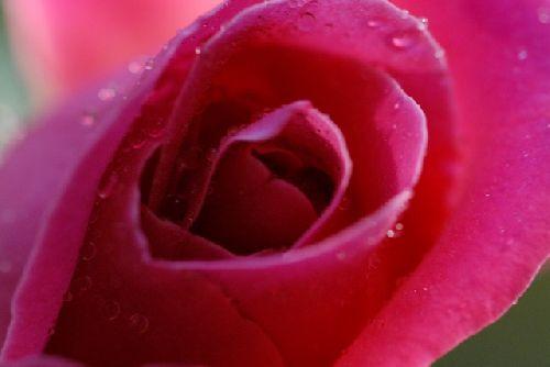 Coeur de rose..