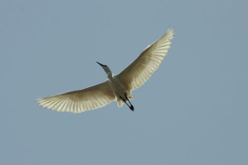 Un ibis en plein vol !