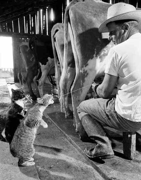 Ha la ferme et ses vaches...