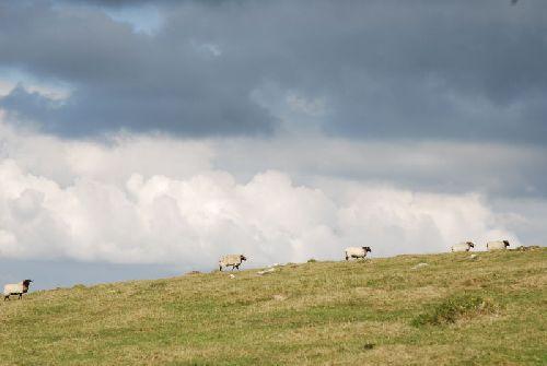 Défilé de moutons
