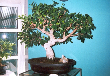1 Expo bonsaï 2005.jpg