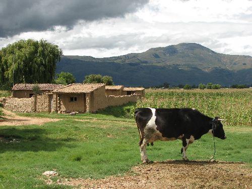 Comme on le vois sur la photo les vaches sont comme chez nous.