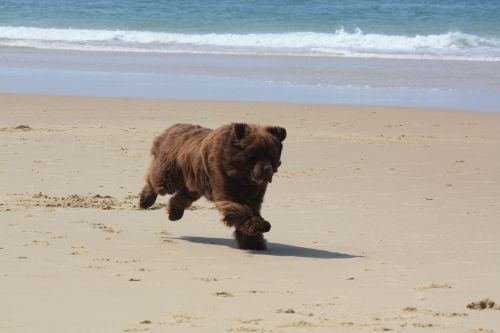 Un ours sur la plage de Biscarrosse en avril 2011