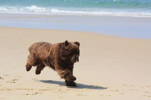 ATTENTION : Un ours sur la plage !