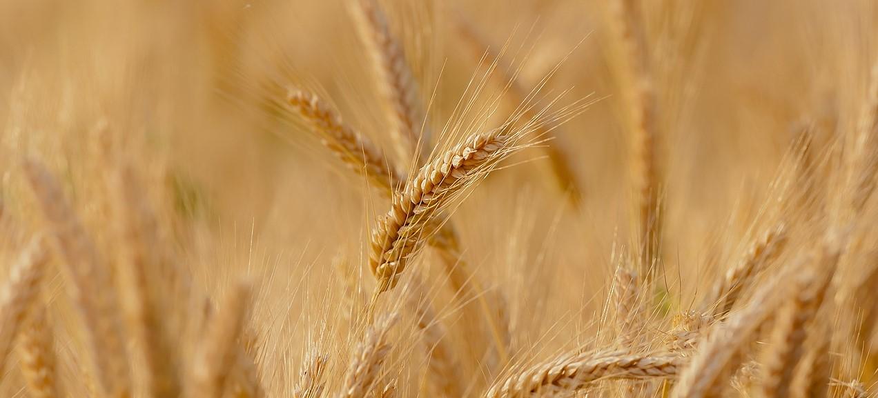 Moisson blé (2)
