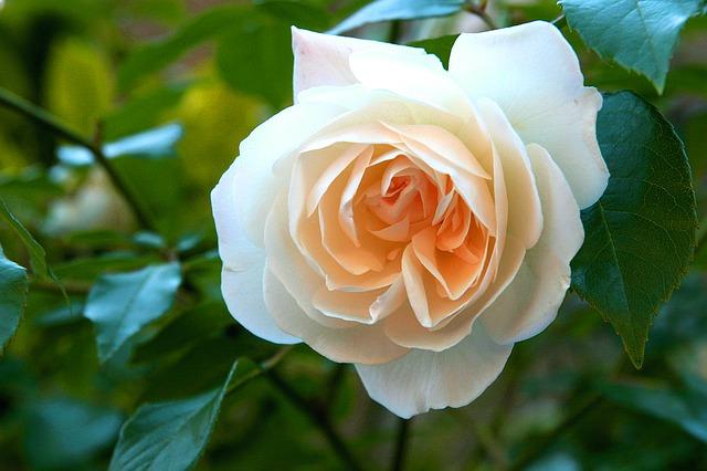 white-rose-1183705_640