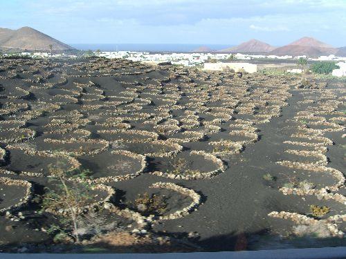 Le systeme d'agriculture a Lanzarote: les pieds de culture sont proteges du vent par des petits murs de pierre