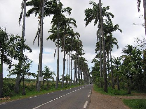 Allée de platanes des tropiques
