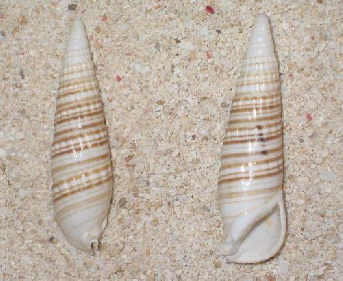 Rhinoclavis fasciatus