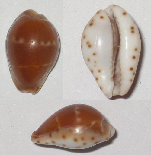 Androyensis