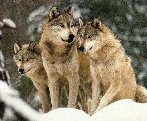 Loups, sacrés lou-lous ces trois-là... Que complotent-ils?