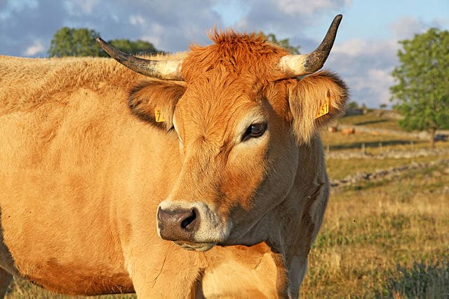 vache-aubrac-wikipedia.jpg