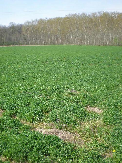 Une parcelle en trèfle : engrais vert