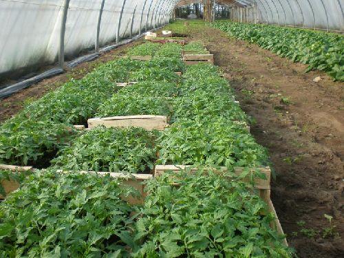 Les plants de tomates