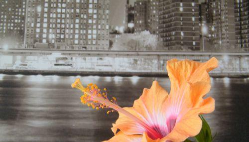 Flore de Dijon - New-York Hibiscus