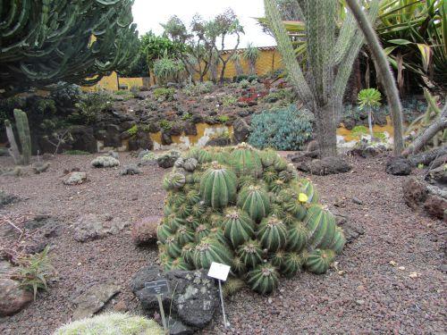 Cactus de Grandes Canaries