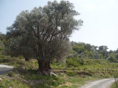 La Crête au moins 1 olivier par habitant