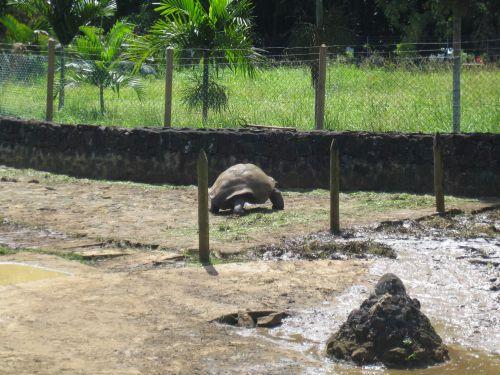Ile Maurice  Jardin des Pamplemousses rencontre avec les tortues