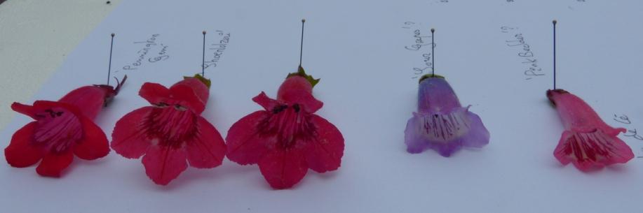 comparaison cultivars penstemons 29-06-2013 11-36-29.JPG
