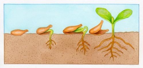 courge-germination (Copier).jpg