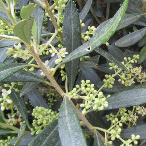 olivier-fleurs (Copier).jpg