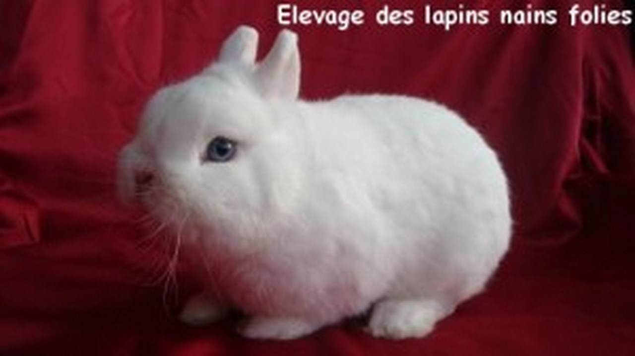 lapin Polonais-aux-yeux-bleu.jpg-2-300x168 (Copier).jpg
