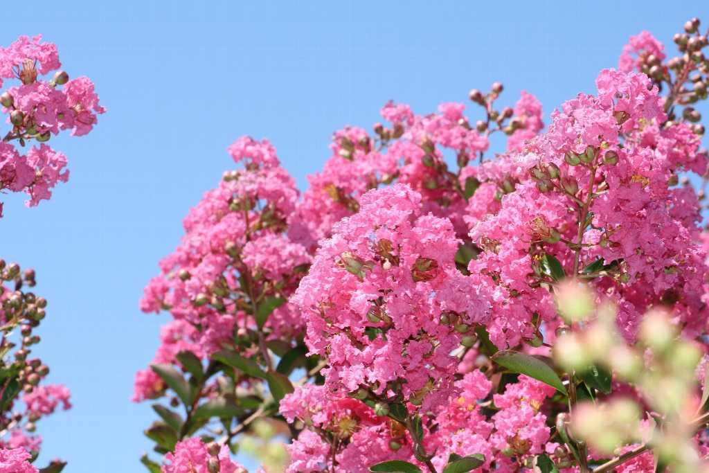 12809-Lagerstroemia-indica-Rose-Indien.jpg