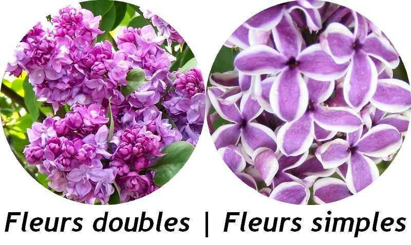 syringa_-_fleurs_lilas.jpg