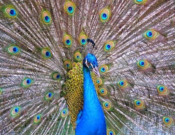 Paon bleu Inde.jpg