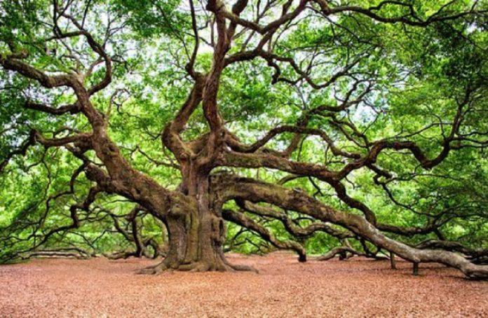 arbre-chêne-696x454.jpg