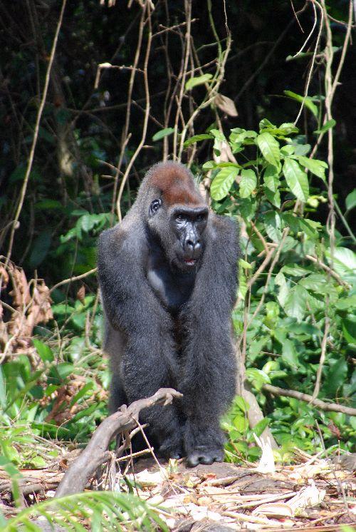 Gorille - 1