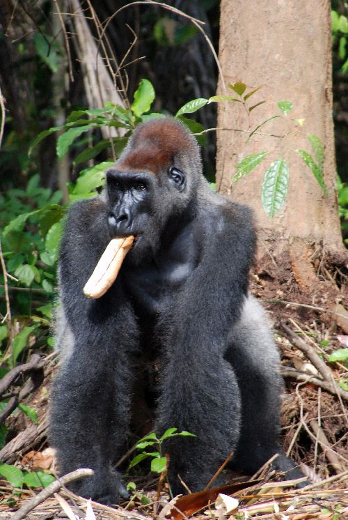 Gorille - 2