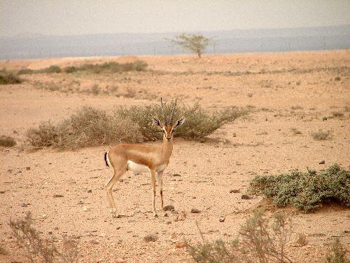 Gazelle-Somalie land-Sept 09